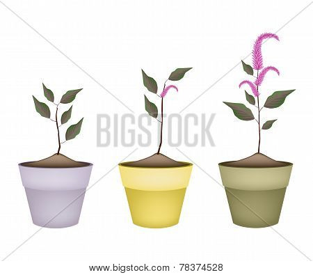 Fresh Red Amaranth in Ceramic Flower Pots