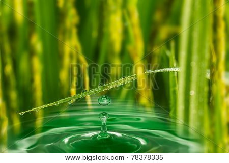 Water Droplets From Leaves Grass