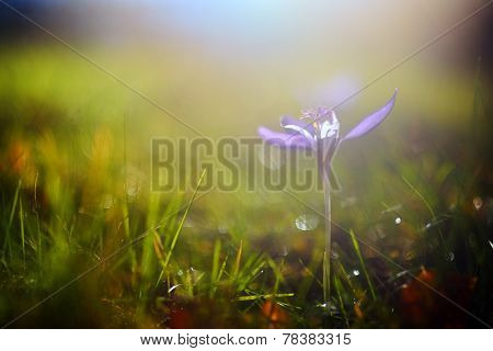 autumn crocuses on mountain pasture