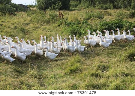 Herd geese coming home.