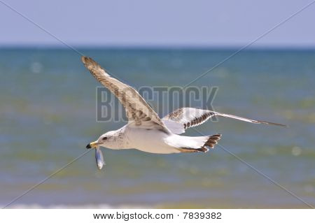 Seagull With Fish