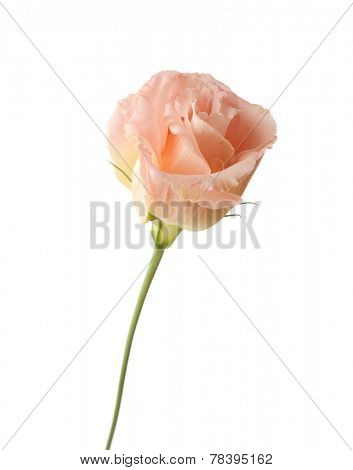 Pale flower of eustoma isolated on a white background.