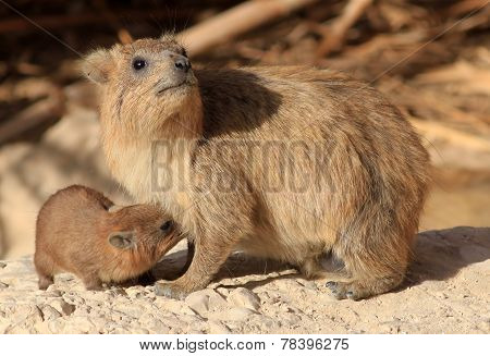 Rock Hyrax Mother Breastfeeding its Child.