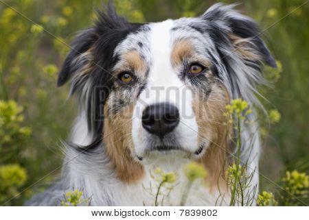 Headshot Of Australian Sheperd In Field Of Flowers