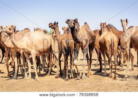Herd Of Indian Camels, Camelus Dromedarius,