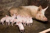 pic of piglet  - Little piglets suckling their mother - JPG