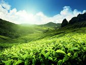 picture of cameron highland  - Tea plantation Cameron highlands - JPG