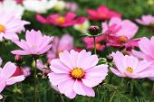 stock photo of cosmos flowers  - Cosmos flowers and buds - JPG