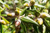 pic of acorn  - leaves and fruit acorns of holly oak or holm oak - JPG