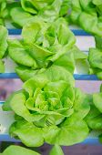 stock photo of hydroponics  - the Butter head vegetable in hydroponic farm