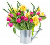 picture of bosoms  - bunch of pink tulip flowers and yellow daffodils in watering can isolated on white background