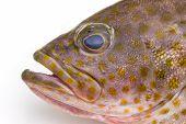 stock photo of grouper  - Fresh areolate grouper  - JPG
