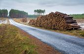 foto of coniferous forest  - Pine forest stroma and road  - JPG
