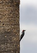 image of acorn  - An Acorn woodpecker storing acorns in the trunk of a palm - JPG