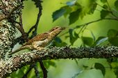 picture of long tongue  - Wryneck bird showing her extra long tongue - JPG
