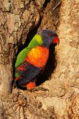 pic of bribie  - Rainbow Lorikeet  - JPG
