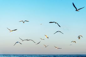 image of flock seagulls  - Seagulls flying on a sunset at the beach - JPG