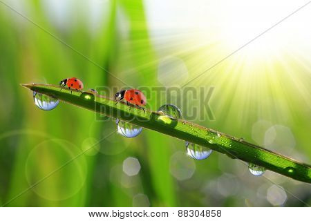 Fresh green grass with morning dew and ladybirds. Nature background.