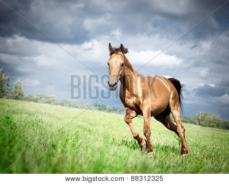 Golden Don Horse Stallion Runs Gallop In Summer With Storm Sky