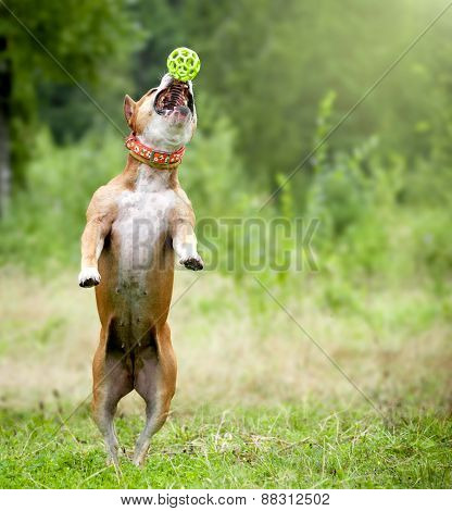 American Staffordshire Terrier Catches The Ball