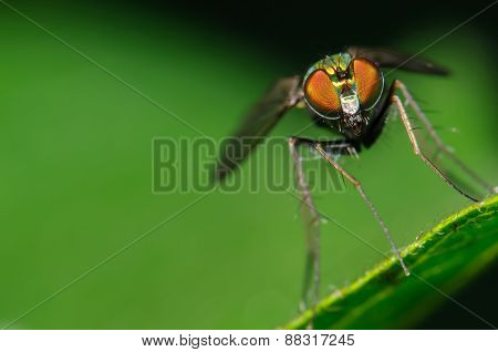 Green And Red Long Legged Fly