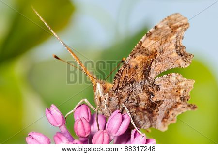 Orange Eastern Comma Butterfly On A Purple Lilac Plant