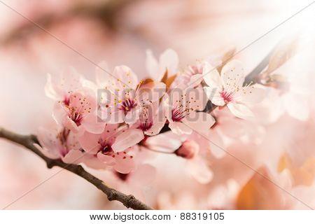 Spring blooming cherry tree in detail