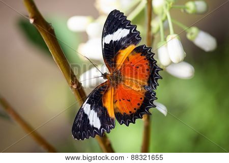 Butterfly with open wings, outdoor