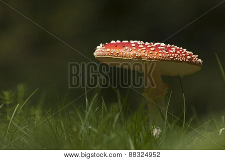 Amanita muscaria, fly agaric in the grass, Vosges, France