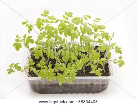 Tomato seedlings in plastic