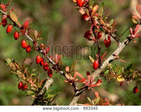Autumn Bayberry