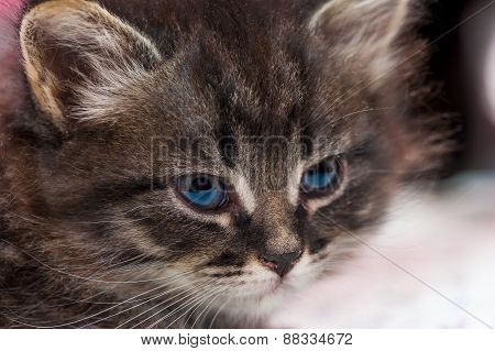 Portrait Of A Beautiful Fluffy Kitten Close-up