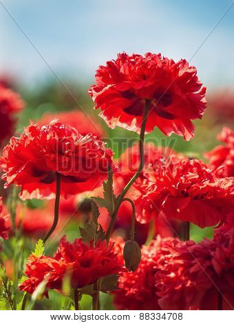 Red Carnation Poppies Blooming In Spring