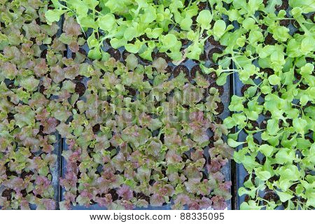 Baby Vegetables ,potted Seedlings Growing In Peat Moss Pots