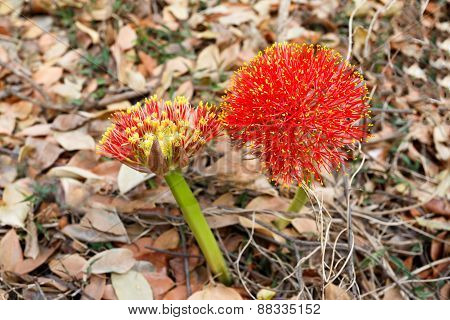Red Sphere Flower(fireball Lily)in Victoria Falls