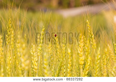 Lady bug in In Barley Fields Focus On Gold Beetle
