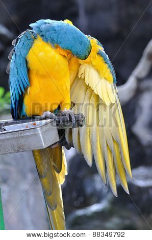 Close Up Beautiful Macaw Bird Cleaning Wings