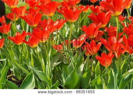 beautiful red tulips, outdoors