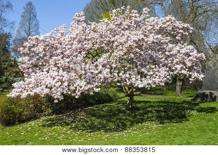 Blossom Tree In Hyde Park, London