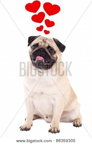 Love Concept - Friendly Pug Dog Sitting Isolated On White With Hearts