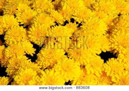 Yellow Chrysanthemum Background