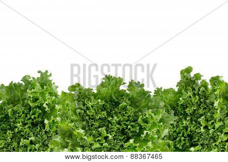 Bottom Border Of Crisp Fresh Lettuce
