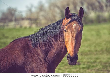 Beautiful Brown Chestnut Horse On The Animal Farm