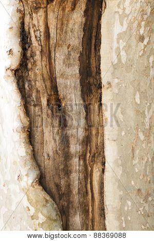 Bark Tree Wound