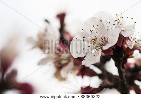 Beautiful Pink Flower Cherry In Full Bloom On Colored Background