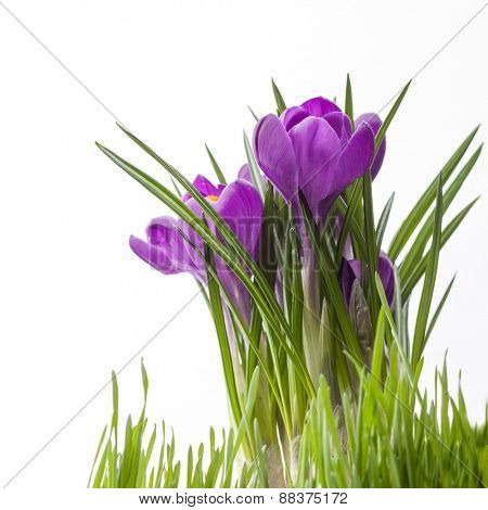 crocus bouquet with green grass isolated on white background
