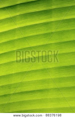 Vertical Pattern And Texture Of Banana Leaf