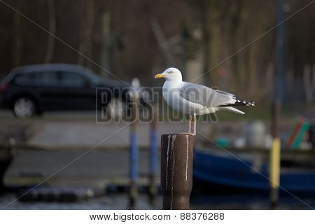 Herring Gull On Metal Pole