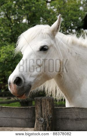 Sideview Headshot Of A Gray Pony Horse