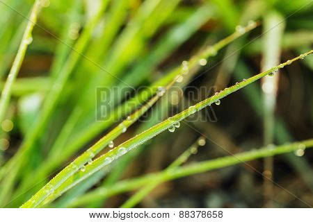 Grass  Leaves  With Dew Drops In Summer